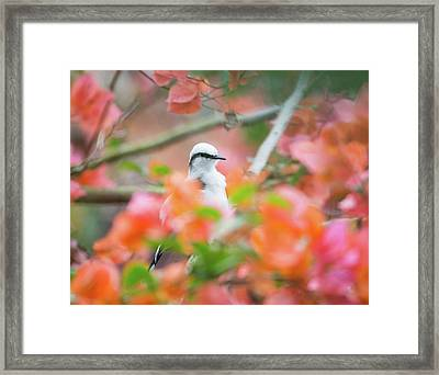 A Masked Water Tyrant, Fluvicola Framed Print