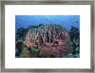 A Massive Barrel Sponge Grows Framed Print by Ethan Daniels
