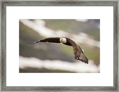A Mature Bald Eagle In Flight Framed Print by Tim Grams