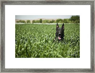 A Military Working Dog Sits In A Field Framed Print by Stocktrek Images