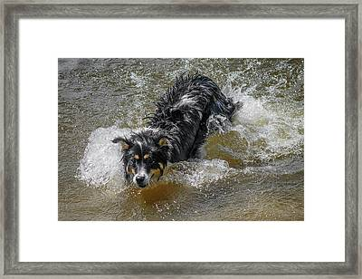 A Mixed Breed Dog Splashes In A Lake Framed Print by Al Petteway & Amy White
