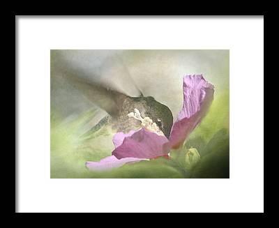 Rose Of Sharon Framed Prints