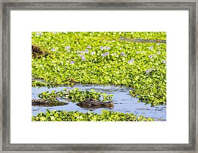 A Mother Alligator In A Flowery Swamp Framed Print