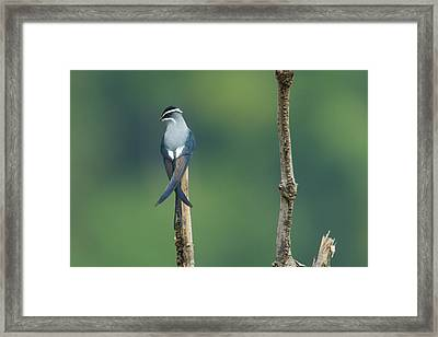 A Moustached Tree-swift, Hemiprocne Framed Print