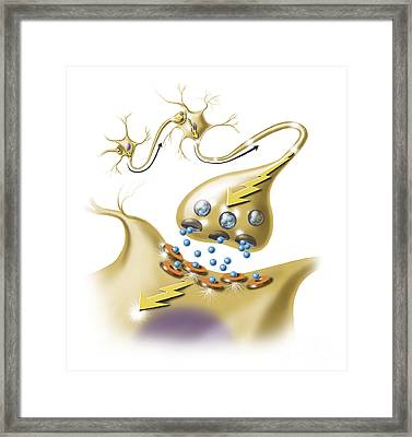 A Nerve Synapse Showing The Release Framed Print by TriFocal Communications