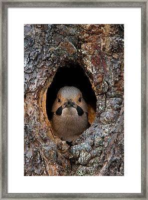 A Northern Flicker In The Hollow Framed Print