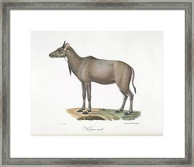 A Nylgau Antelope Framed Print by British Library
