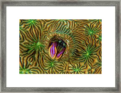 A Pagurid Hermit Crab Lives In Coral Framed Print