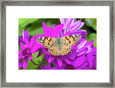A Painted Lady Butterfly Framed Print by Ashley Cooper