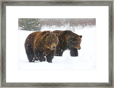 A Pair Of Adult Brown Bears Walk Framed Print