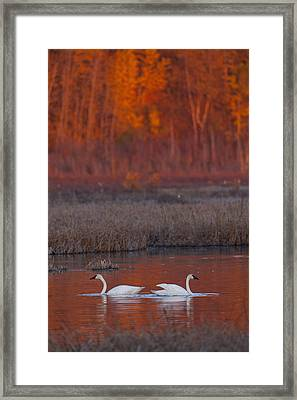 A Pair Of Adult Trumpeter Swans Swim Framed Print by Doug Lindstrand