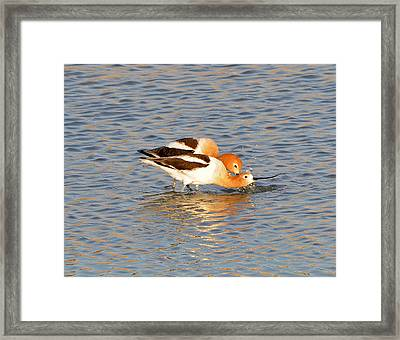 Framed Print featuring the photograph A Pair Of American Avocets by Lula Adams