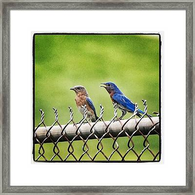 Nesting Bluebirds Framed Print by Heidi Hermes