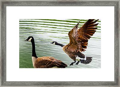 A Pair Of Canada Geese Landing On Rockland Lake Framed Print by Jerry Cowart