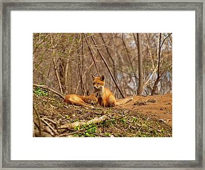 A Pair Of Cute Kit Foxes 1 Framed Print
