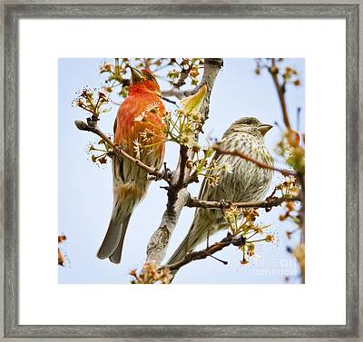A Pair Of House Finches Framed Print