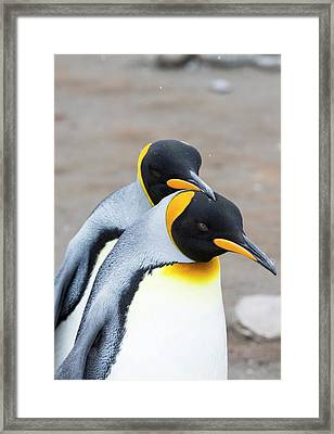 A Pair Of King Penguins Framed Print by Ashley Cooper