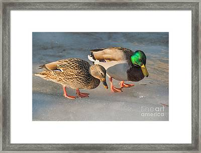 A Pair Of Mallards On Frozen Lake Framed Print