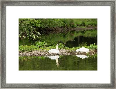 A Pair Of Mute Swans Framed Print by Ashley Cooper
