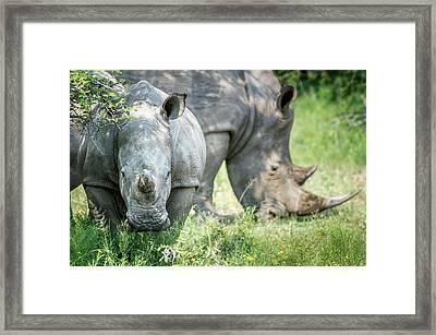 A Pair Of Rhinoceros  Rhinocerotidae Framed Print