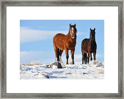 Framed Print featuring the photograph A Pair Of Wild Mustangs In Snow by Vinnie Oakes