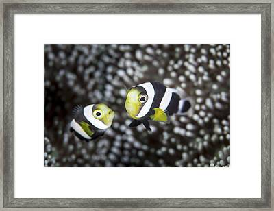 A Pair Of Young Saddleback Anemonefish Framed Print