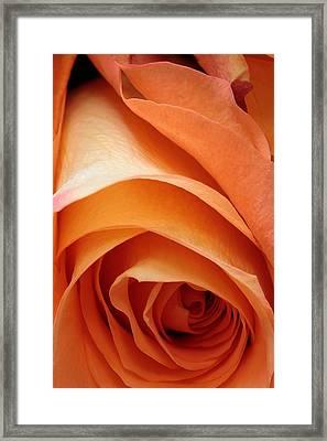 A Pareo Rose Framed Print by Joe Kozlowski