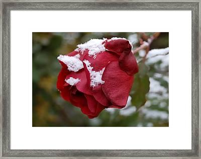 A Passing Unrequited - Rose In Winter Framed Print by Steven Milner