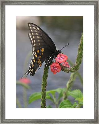 Framed Print featuring the photograph A Pause In Flight by Judith Morris