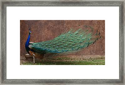 A Peacock Framed Print