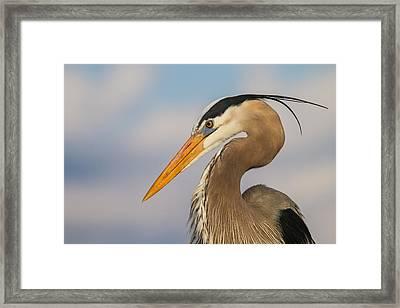 A Pensive Blue Heron Framed Print