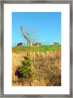 A Cow's Roadside View Framed Print