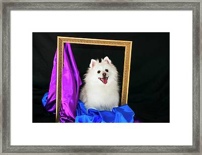 A Picture Of An American Eskimo Dog Framed Print