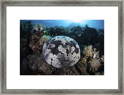 A Pin Cushion Starfish Clings Framed Print by Ethan Daniels