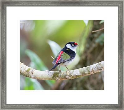 A Pin-tailed Manakin, Ilicura Framed Print