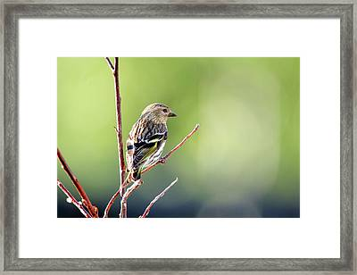 A Pine Sisken (carduelis Pinus Framed Print by Richard Wright