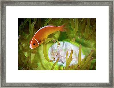 A Pink Anemonefish Inside Its Host Framed Print by David Doubilet