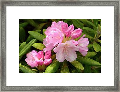 A Pink Rhododendron In Bloom Framed Print by Darlyne A. Murawski
