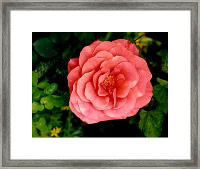 A Pink Rose Framed Print by Mary Armstrong