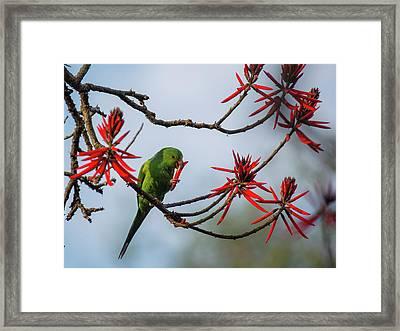 A Plain Parakeet, Brotogeris Tirica Framed Print