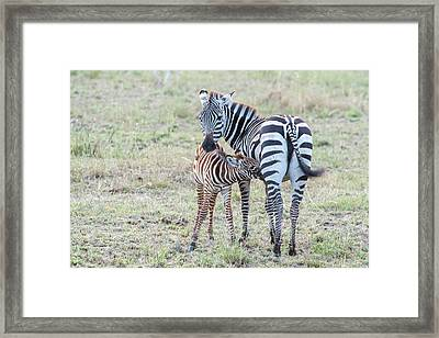 A Plains Zebra, Equus Quagga, Nursing Framed Print by Tom Murphy
