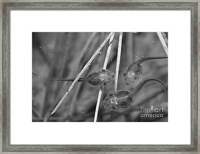 A Pod Of 'poles Bw Framed Print by Lynda Dawson-Youngclaus