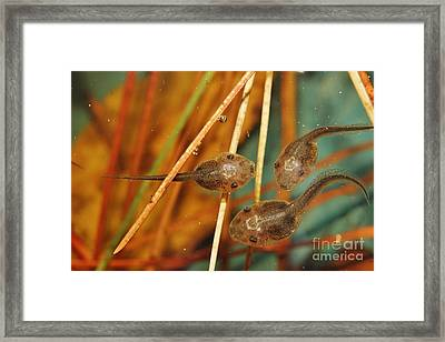 A Pod Of 'poles Framed Print by Lynda Dawson-Youngclaus