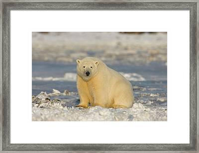 A Polar Bear Sits On The Frozen Surface Framed Print