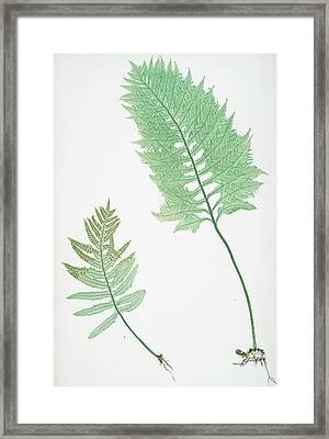 A. Polypodium Vulgare Cambricum. B. P. Vulgare Crenatum Framed Print