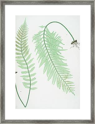 A. Polypodium Vulgare Semilacerum. B. P. Vulgare Serratum Framed Print