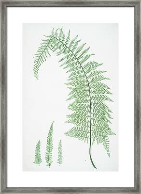 A. Polystichum Angulare Subtripinnatum. B. P Framed Print