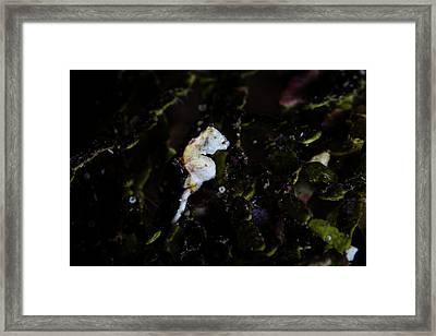 A Pontohi Pygmy Seahorse Hippocampus Framed Print by Ethan Daniels