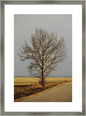 A Poplar Tree By The Side Of A Gravel Framed Print by Roberta Murray