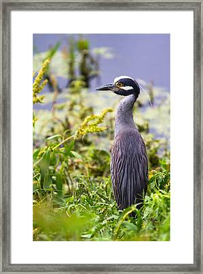 A Portrait Of A Yellow-crowned Night Heron Framed Print by Ellie Teramoto